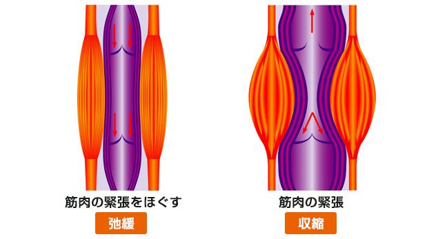 筋肉の収縮
